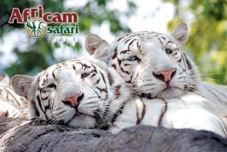 Africam Safari tendrá descuentos durante Semana Santa