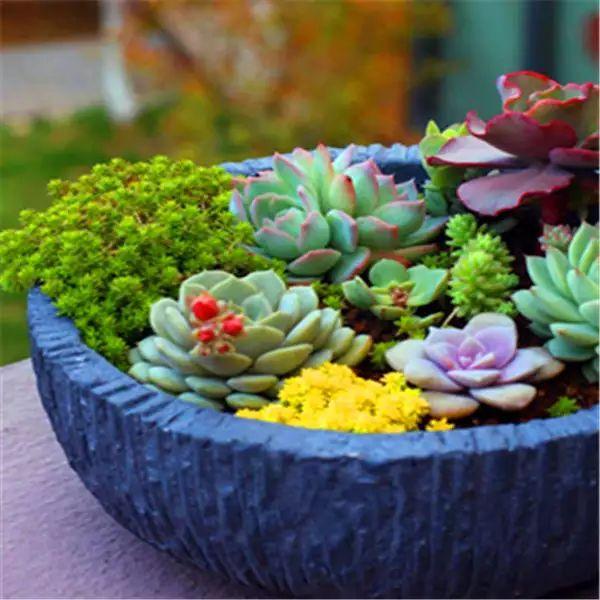Aliexpress Cactus japonés