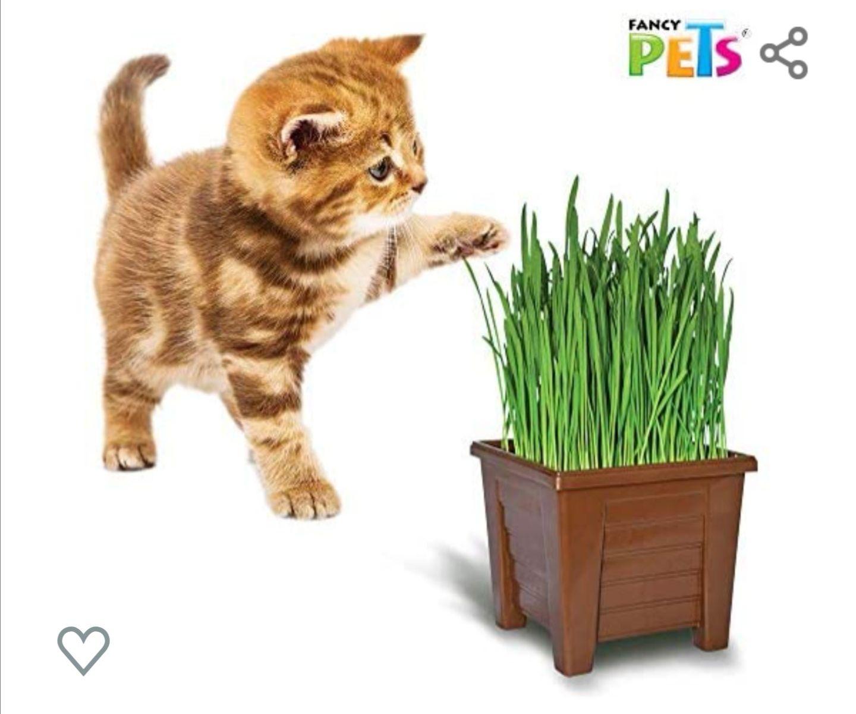 Amazon: Pasto de avena y trigo para gato + maceta incluida